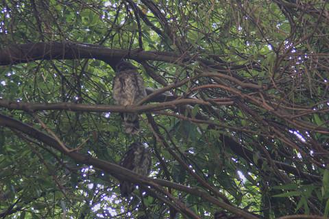 owl12.jpg